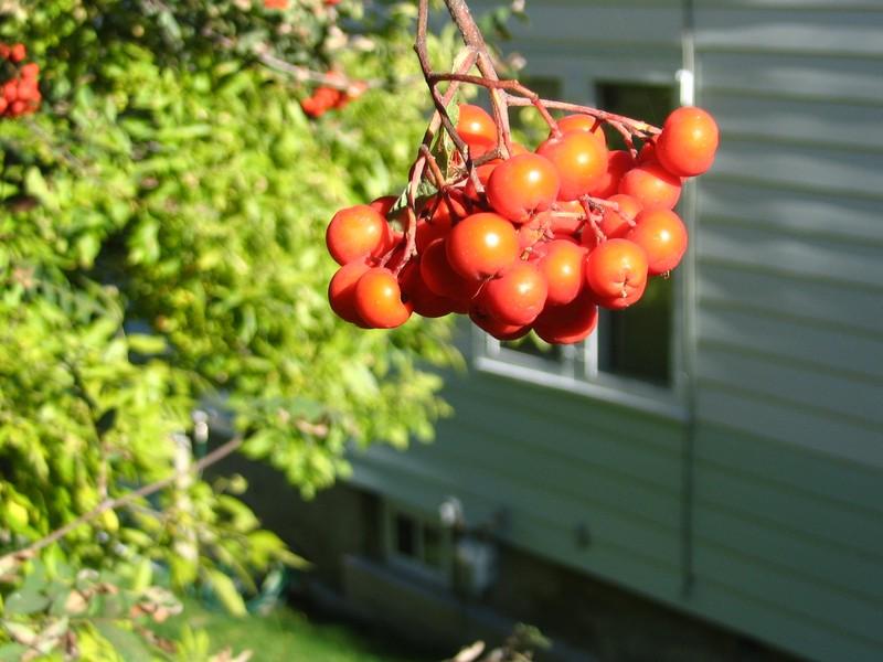 Fresh backyard fruits, Nelson BC